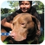 Photo 1 - American Pit Bull Terrier/Labrador Retriever Mix Dog for adoption in Poway, California - Buster Brown