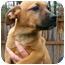 Photo 3 - Boxer/Labrador Retriever Mix Puppy for adoption in Westport, Connecticut - *Laila - PENDING