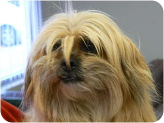 Shih Tzu Mix Dog for adoption in Clarksville, Indiana - Yardley