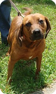 Beagle/Redbone Coonhound Mix Dog for adoption in Hagerstown, Maryland - Dory