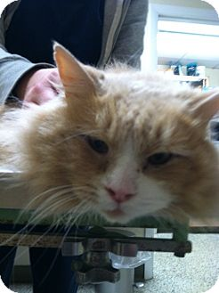 Domestic Longhair Cat for adoption in Queensbury, New York - Lucky