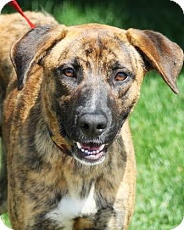 Mastiff/Shepherd (Unknown Type) Mix Puppy for adoption in Broomfield, Colorado - Goliath