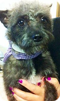 Yorkie, Yorkshire Terrier/Poodle (Miniature) Mix Dog for adoption in Oswego, Illinois - Fresca