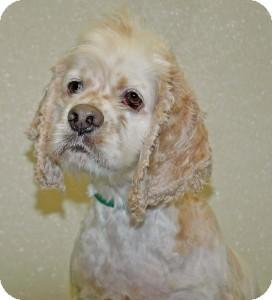 Cocker Spaniel Dog for adoption in Port Washington, New York - Tramp