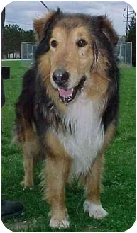 Collie Mix Dog for adoption in North Judson, Indiana - Ollie