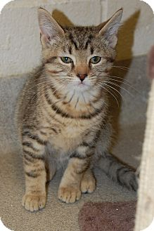 Domestic Shorthair Kitten for adoption in Bucyrus, Ohio - Crocodile Dundee