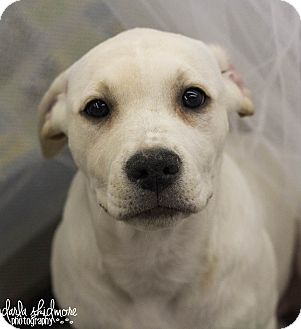 Pit Bull Terrier/Labrador Retriever Mix Puppy for adoption in Charlotte, North Carolina - Accord (Honda Litter)