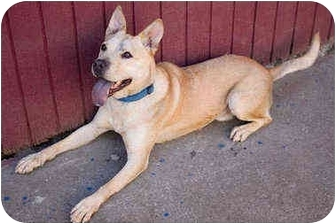 American Pit Bull Terrier/Australian Cattle Dog Mix Dog for adoption in Portland, Oregon - Bacchus