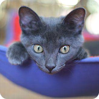 Russian Blue Kitten for adoption in Studio City, California - Melanie
