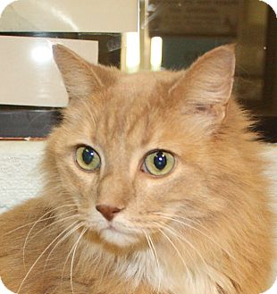 Domestic Longhair Cat for adoption in Jackson, Michigan - Paulie