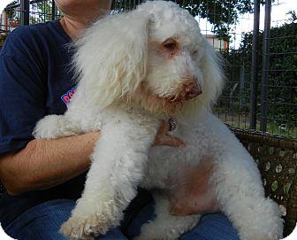Poodle (Miniature) Mix Dog for adoption in Houston, Texas - Santana