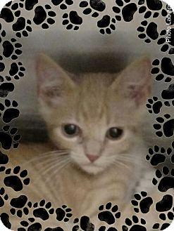 Domestic Shorthair Kitten for adoption in Pueblo West, Colorado - Tony