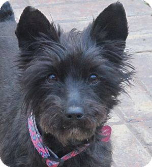 Schnauzer (Miniature)/Yorkie, Yorkshire Terrier Mix Dog for adoption in Washington, D.C. - Shatzi