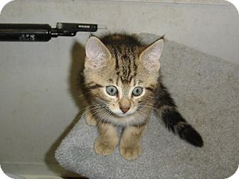 Domestic Shorthair Kitten for adoption in Island Heights, New Jersey - Robby