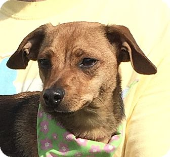 Terrier (Unknown Type, Small) Mix Dog for adoption in Evansville, Indiana - Coco