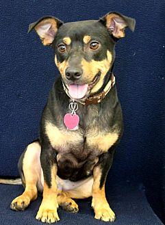 Corgi Mix Dog for adoption in Wichita, Kansas - Oliver