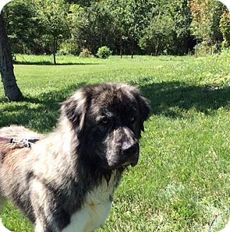 Great Pyrenees/Newfoundland Mix Dog for adoption in Mechanicsburg, Ohio - Batman