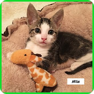 Domestic Shorthair Cat for adoption in Miami, Florida - Mila