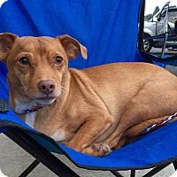 Dachshund/Australian Terrier Mix Dog for adoption in Santa Ana, California - Bennett