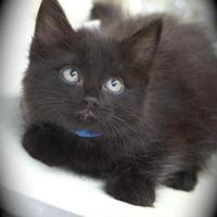 Domestic Longhair/Domestic Shorthair Mix Cat for adoption in Englewood, Florida - Adria