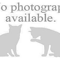 Domestic Shorthair Kitten for adoption in Hampton, Virginia - JULIUS