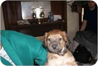 German Shepherd Dog Mix Puppy for adoption in Millerton, Pennsylvania - Shep mix 1-2