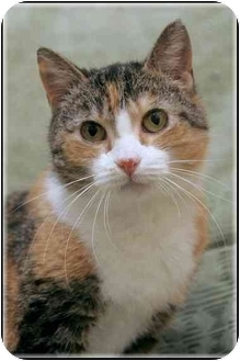 Calico Cat for adoption in Sterling Heights, Michigan - Bali - ADOPTED!