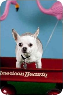 Chihuahua Dog for adoption in Portland, Oregon - Lil Lexy