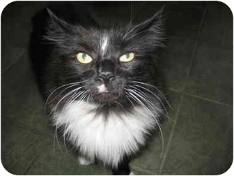 Domestic Longhair Cat for adoption in Worcester, Massachusetts - Oliver ( Ollie)