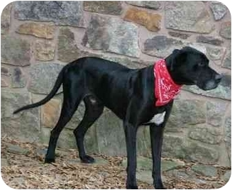 Great Dane Dog for adoption in Muldrow, Oklahoma - Colten