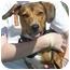 Photo 2 - Beagle/Basset Hound Mix Dog for adoption in Carrollton, Texas - Lucy