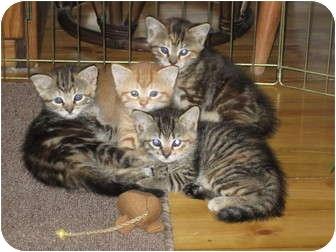 Calico Kitten for adoption in Randolph, New Jersey - Erika's Kittens-Super Sweet