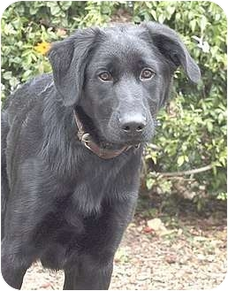 Labrador Retriever Mix Puppy for adoption in Santa Barbara, California - Blakcy