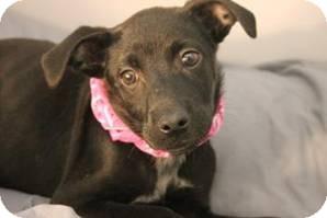 Labrador Retriever Mix Puppy for adoption in Jarrettsville, Maryland - Grace