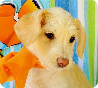 Dachshund/Terrier (Unknown Type, Small) Mix Puppy for adoption in Irvine, California - Rose