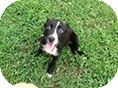 Labrador Retriever Mix Puppy for adoption in Laingsburg, Michigan - Onyx