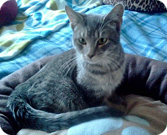Domestic Shorthair Kitten for adoption in ST LOUIS, Missouri - George