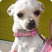Adopt A Pet :: Jolie (5.5 pounds) - Toluca Lake, CA