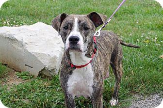 Boxer Mix Dog for adoption in Elyria, Ohio - Corona