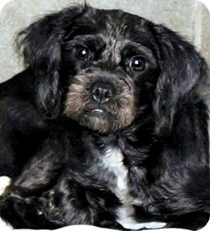 Cockapoo Mix Dog for adoption in Oswego, Illinois - I'M ADOPTED Paisley Tandy