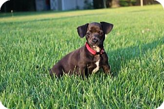 Dachshund/Chihuahua Mix Puppy for adoption in Coatesville, Pennsylvania - Cory