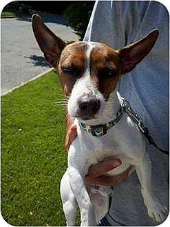 Jack Russell Terrier Mix Puppy for adoption in Flushing, New York - Jumpin' Jack Flash
