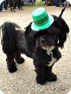 Lhasa Apso/Shih Tzu Mix Dog for adoption in Sugarland, Texas - Cash