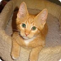 Adopt A Pet :: Truman - Bentonville, AR