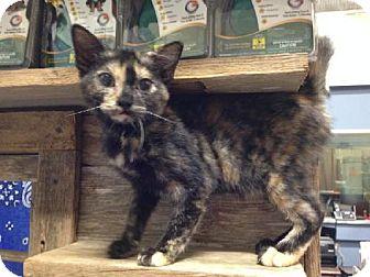 Domestic Shorthair Kitten for adoption in Del Rio, Texas - Angel