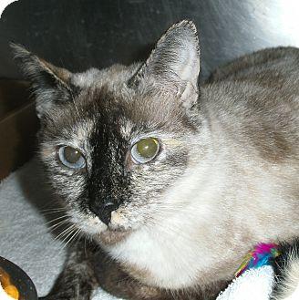 Domestic Shorthair Cat for adoption in El Cajon, California - Daisy