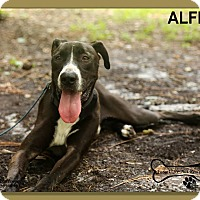 Labrador Retriever/Great Dane Mix Dog for adoption in Sarasota, Florida - Alfie