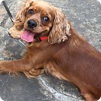 Adopt A Pet :: Rooney - Sugarland, TX