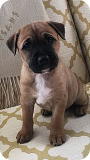 German Shepherd Dog/Boxer Mix Puppy for adoption in Rochester, New Hampshire - Red