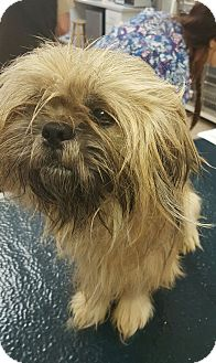 Shih Tzu Dog for adoption in Mary Esther, Florida - Mr. T